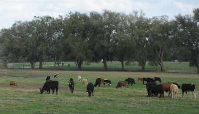 Cracker Land and Cattle